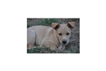 Picture of a Carolina Dog Puppy