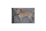 Picture of Rare American Dingo