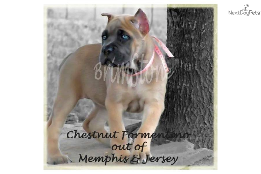Cane Corso Mastiff Italiano English Dog Breed