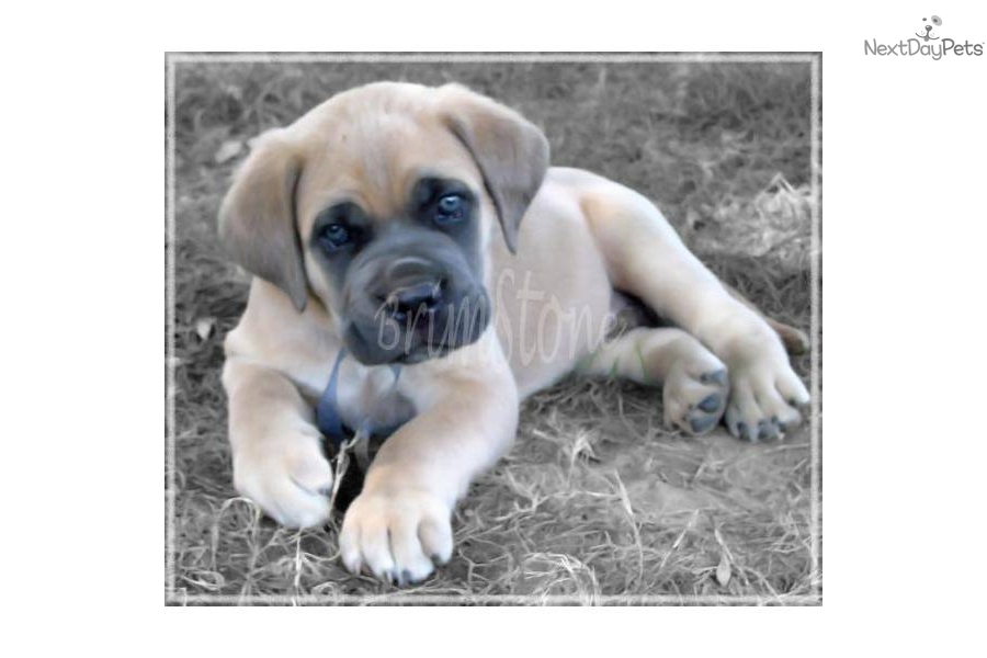 Cane Corso Puppies For Sale In Mississippi