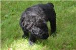 Bouvier Des Flandres 8 Weeks at 7 weeks of age for sale
