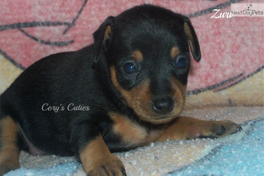 Miniature Pinscher Missouri Miniature Pinscher puppy for