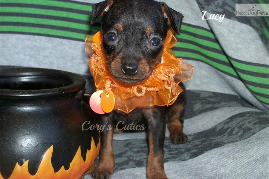 Lucy: Miniature Pinscher puppy for sale near Springfield ...