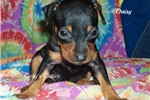 Picture of Daisy--AKC