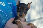 Picture of Rose--AKC