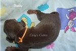 Picture of Buddy--AKC