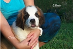 Picture of AKC Olivia
