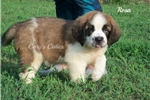 Picture of AKC Rosa