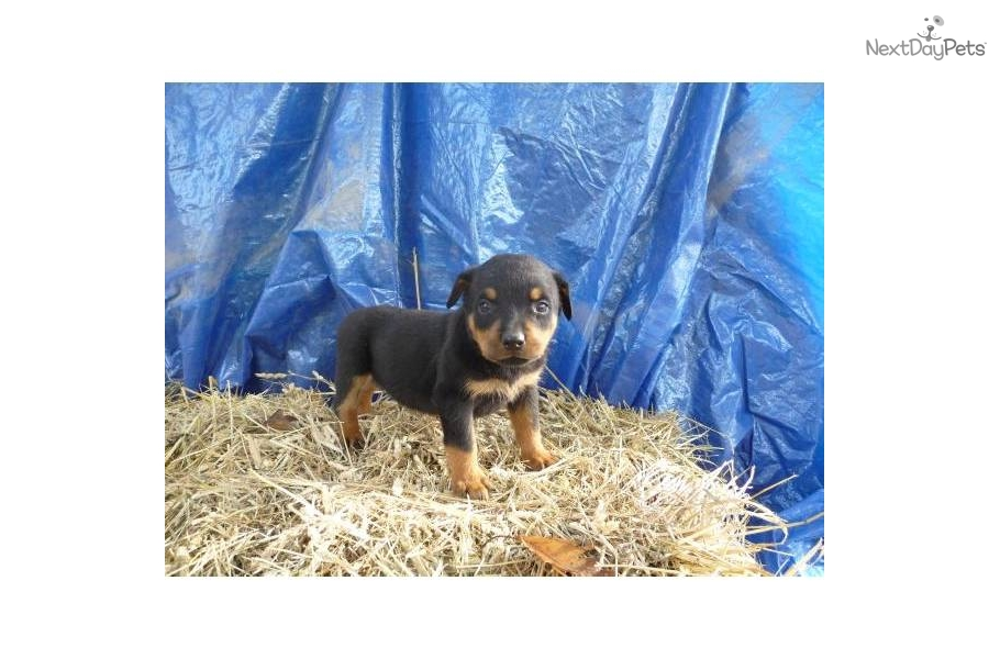 meet tiny a cute rottweiler puppy for sale for  500  akc