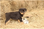 Picture of AKC GERMAN ROTTWEILER MALE **MAX**