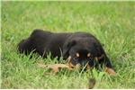 Picture of AKC GERMAN ROTTWEILER FEMALE **ZENA**