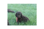 Picture of AKC Female American Water Spaniel