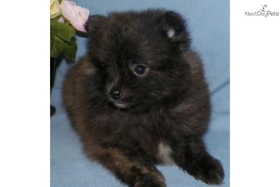 Pomeranian puppy for sale near syracuse new york 7c6256fd 6cc1