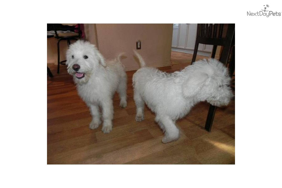 Shepadoodle Puppy For Sale Near Columbia South Carolina