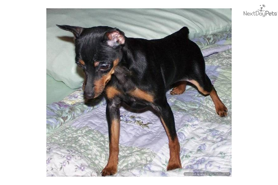 Female Dog Names For Min Pin