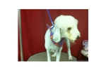 Picture of Bedlington Terrier
