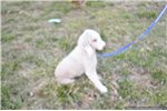 Picture of Bedlington Terrier Puppy