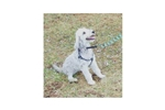 Picture of Bedlington Terriers