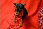 Miniature Pinscher for sale