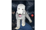 Picture of Sale Pending - Bedlington Terrier