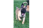 Picture of AKC Belgian Malinois ANDY