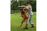 Picture of Belgian Malinois Brittney