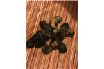 Belgian Malinois for sale
