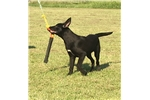 Picture of Trained Black Belgian Malinois Female