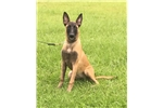 Picture of Anna AKC Belgian Malinois