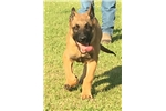 Picture of a Belgian Malinois Puppy