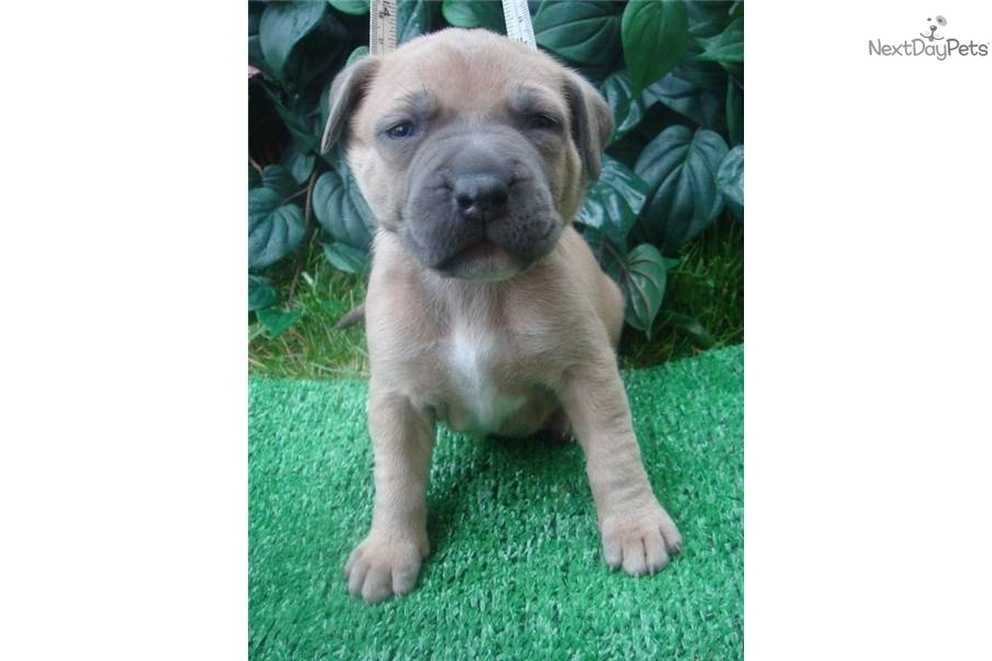 ... -pit-bull-puppy-for-saledog-american-pit-bull-terrier-puppy-64f32.jpg