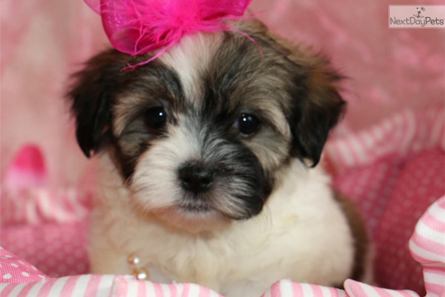 Shih Tzu Puppies For Sale In Missouri Information Keywords And Pictures