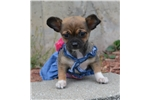 Picture of a Chinese Chongqing Dog Puppy