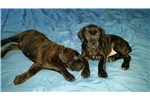 Picture of Cane Corso / Boerboel pups