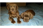 Picture of Cane Corso puppies