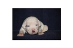Picture of an American Bulldog Puppy