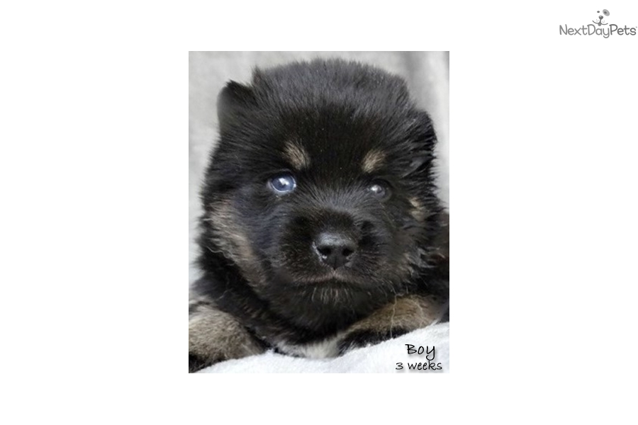 sale inland empire picture to download pomsky puppies for sale inland ...