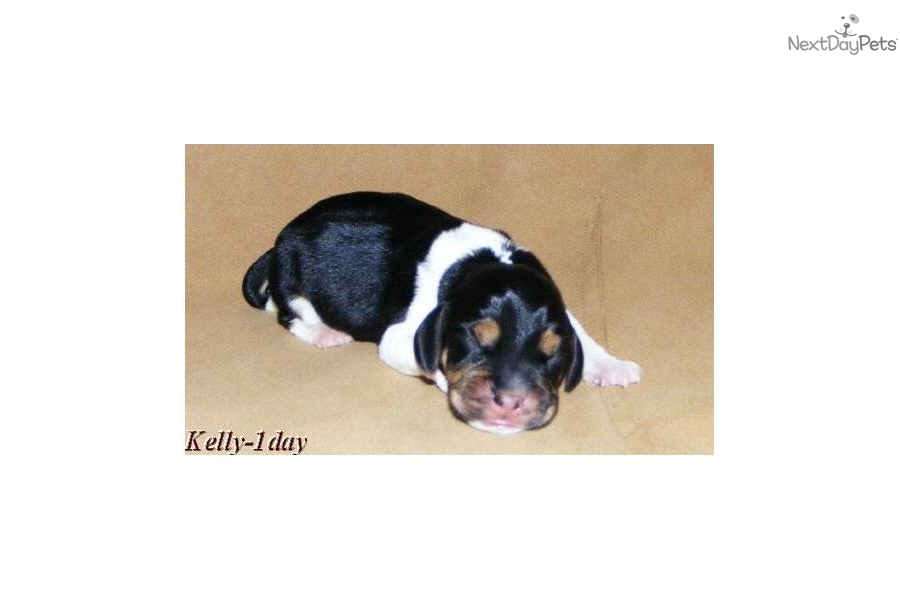 Olde English Pocket Beagle Puppies For Sale In Victoria Virginia | Dog ...