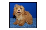 Featured Breeder of Malti Poo Maltipoos with Puppies For Sale