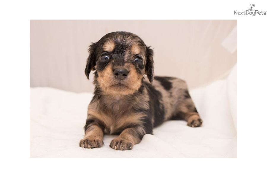 Dachshund puppies for sale san antonio