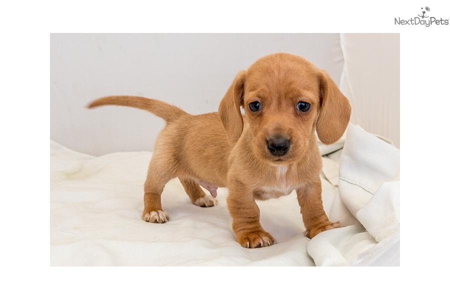 Dachshund Puppies For Sale In San Antonio Texas
