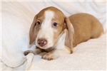 Picture of Benjamin - Red dappled piebald male WIREHAIR