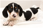 Picture of Dogwood - Black/tan piebald male SHORTHAIR