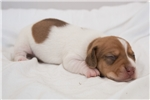 Picture of Harry - Red piebald male SHORTHAIR