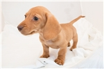 Picture of Stardust - Red female SHORTHAIR
