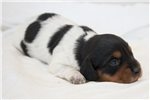 Picture of Piper - Black/tan piebald female SILKY WIREHAIR