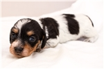 Picture of Sampson - Black/tan piebald male WIREHAIR