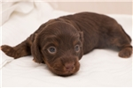 Picture of Mulligan - Chocolate/tan male SILKY WIREHAIR