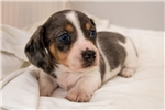 Picture of Mikey - Black/tan dappled piebald male WIREHAIR