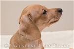 Picture of Yanni - Cream male SHORTHAIR
